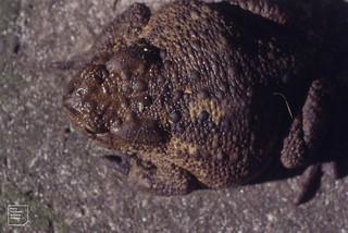 Toad in Gwaelod garden. 28 July 1994