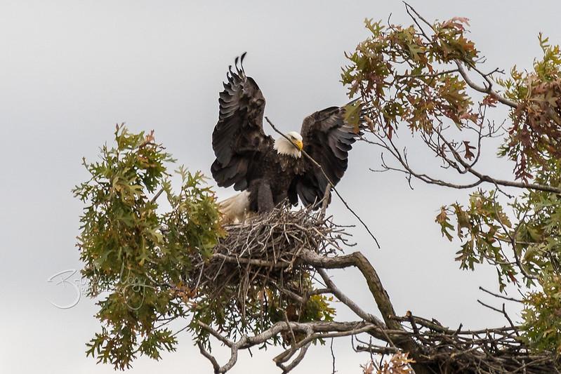 Bald Eagles | 2017.10.27
