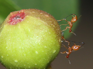 Parasitic wasps on sandpaper fig 7431 | by Malcolm NQ
