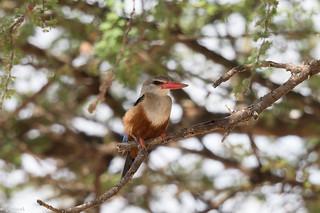 Martin-chasseur à tête grise (Halcyon leucocephala) - Grey-headed Kingfisher