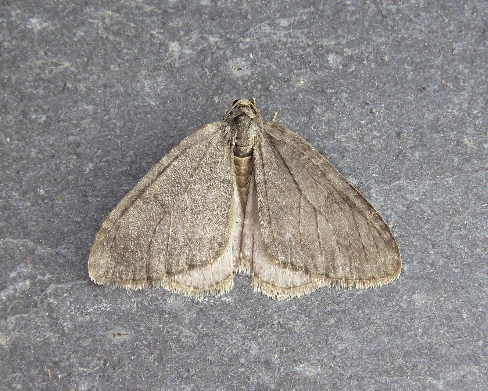 70.107 November Moth agg. - Epirrita dilutata agg.