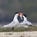 Flickr photo 'Caspian Terns' by: 0ystercatcher.