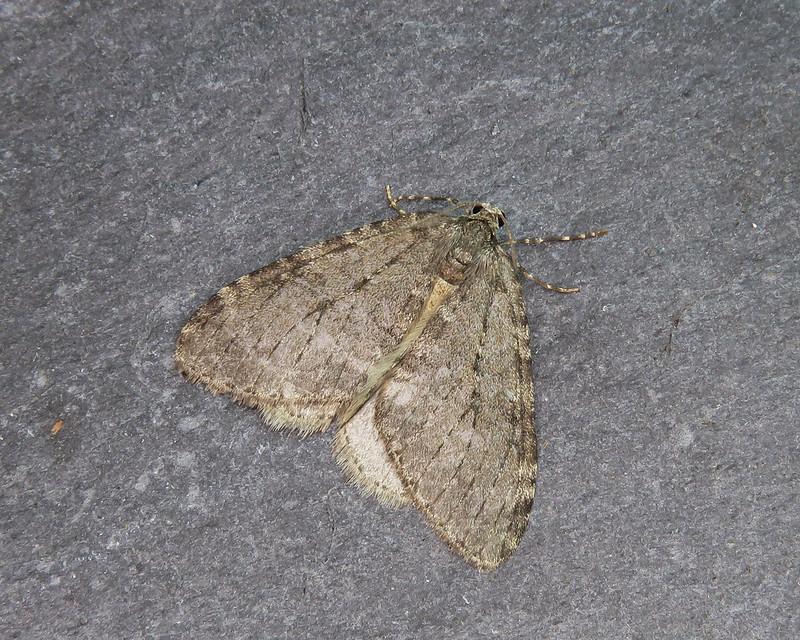 70.107x BF1795 November Moth agg. - Epirrita dilutata agg.