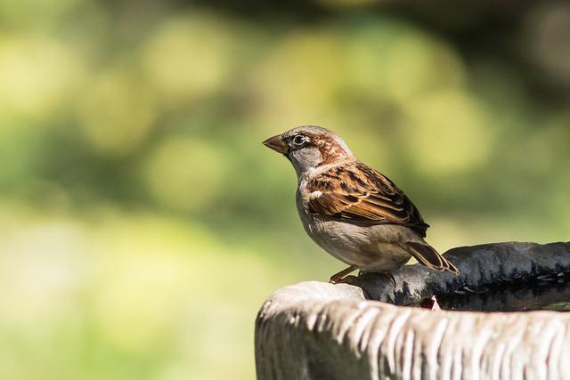 House sparrow (explored 10-26-2017)