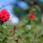 Rose (薔薇)2