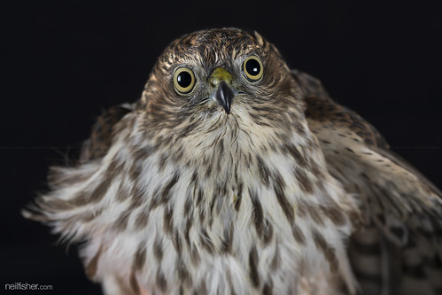 Sharp-shinned hawk Accipiter striatus | by neil.fisher