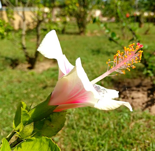 white hibiscus flower xiaomi redmiphone redminote4 garden