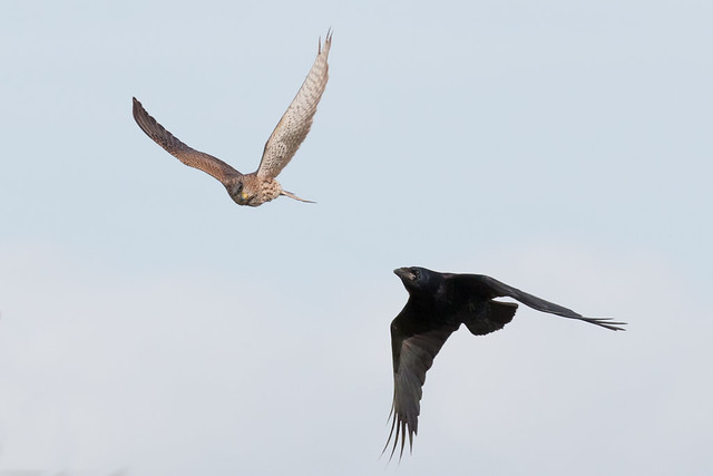 Kestrel and Crow