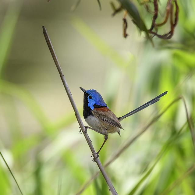 small bird series:  in the shadows - ♂ verigated fairy-wren