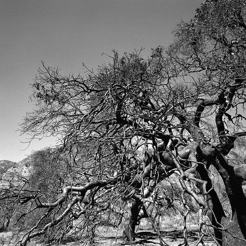 eyetwistkevinballuff eyetwist burnt burned sandfire manzanita brush chaparral tree abstract losangeles placeritacanyon sandcanyon bw mamiya 6mf 75mm mamiya6mf mamiya75mmf35l kodaktrix400 kodak trix 400 tx tx400 ishootkodak yellowfilter xtol ishootfilm analog analogue film emulsion mamiya6 square 6x6 mediumformat 120 filmexif iconla recentlyprocessedfilm epsonv750pro lenstagger blackwhite black white monochrome angeleno la socal california los angeles santaclarita sangabrielmountains canyon forest fire wildfire trees crispy charred blackened charcoal moonscape inferno landscape disaster devastation branches dead newhall canyoncountry twisted gnarled