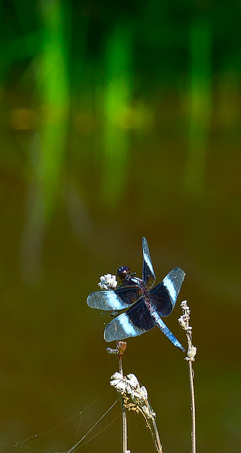 P1020426dragonfly600