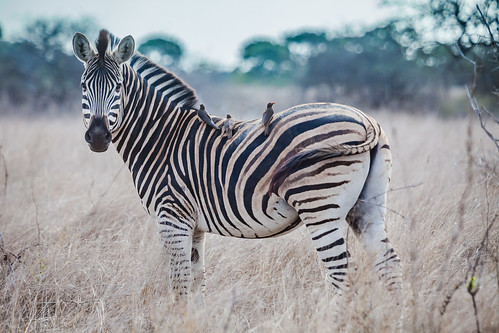 Plains zebra | by A. v. Z.