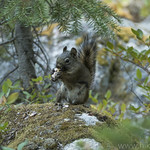 Red Tree Squirrel