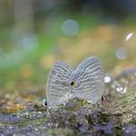 Common Cerulean 錫冷雅灰蝶