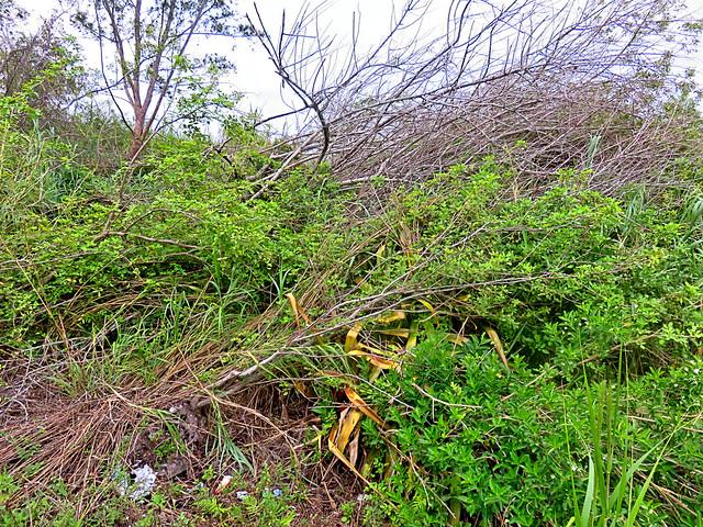 Felled Trema trees 20171018