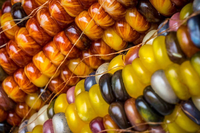Multicolor maize