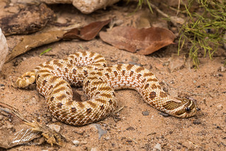 Western Hognose Snake | by Frank Portillo