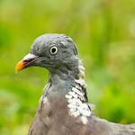 Bedraggled Pigeon