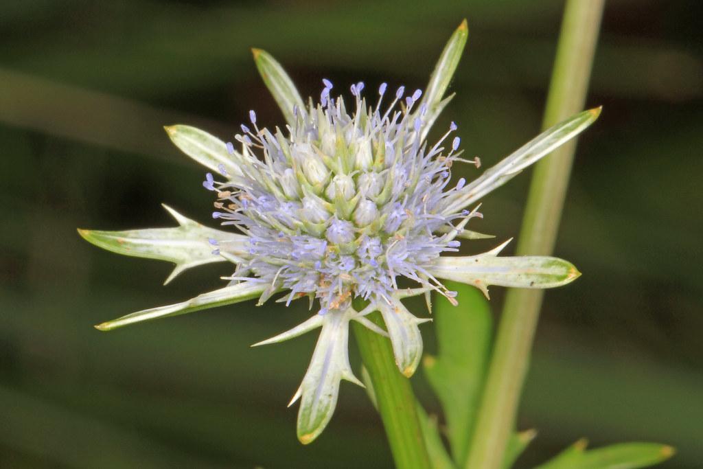 Blueflower Eryngo - Eryngium integrifolium, Green Swamp Preserve, Supply, North Carolina
