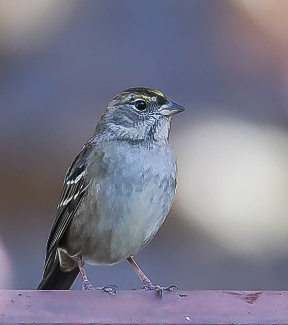 gold crowned sparrow hopped on the fence and i got him.