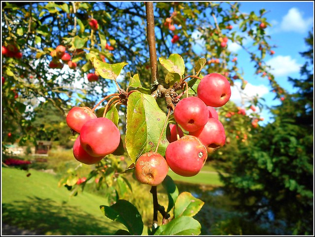 Crab Apples ..