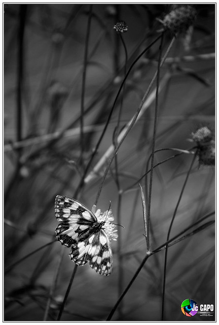 Melanargia galathea : papillon demi deuille