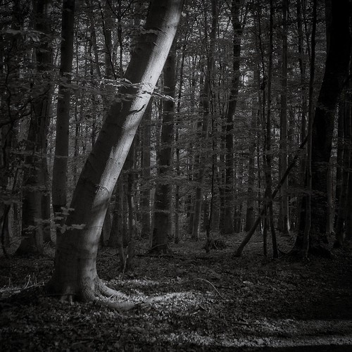 beech forest | by bwstock