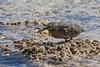 Striated Heron, Butorides striata by Kevin B Agar