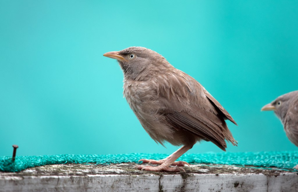 Jungle Babbler [Turdoide Matorralero]