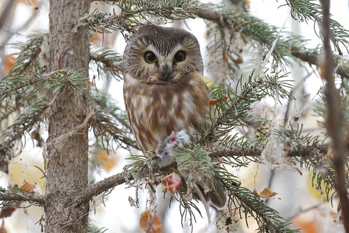 Northern Saw-whet Owl  1978