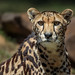 Image: King Cheetah