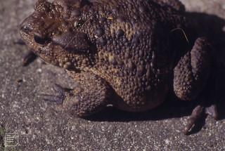 Toad. Gwaelod garden. 28 July 1994