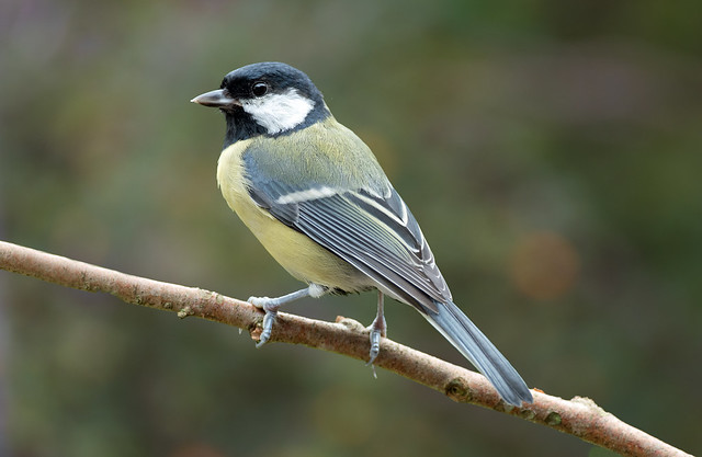 Great Tit 'Parus major' - Ardnamurchan Peninsula