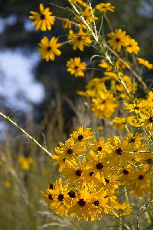 Swamp Sunflowers_9