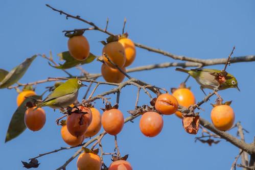 2017/10/27 (金) - 8:36 - 公園の中にあるこの柿の木にメジロの群れが来ていた<br />