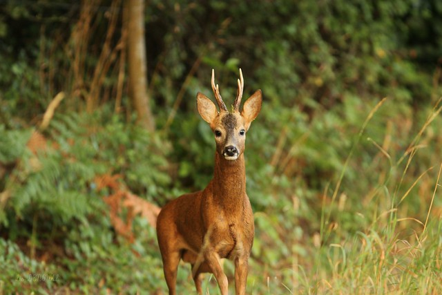Roe Deer - Brittany [Explored]
