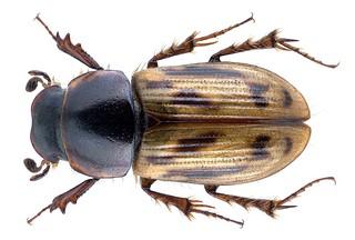 Chilothorax albosetosus (Pittino, 1995) Male PARATYPUS Syn.: Aphodius (Chilothorax) albosetosus Pittino, 1995 | by urjsa