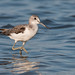 Common Greenshank - Photo (c) Ximo Galarza, some rights reserved (CC BY-NC-SA)