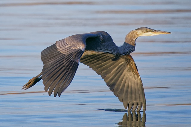 Great Blue Heron On Landing Approach Near Sunset