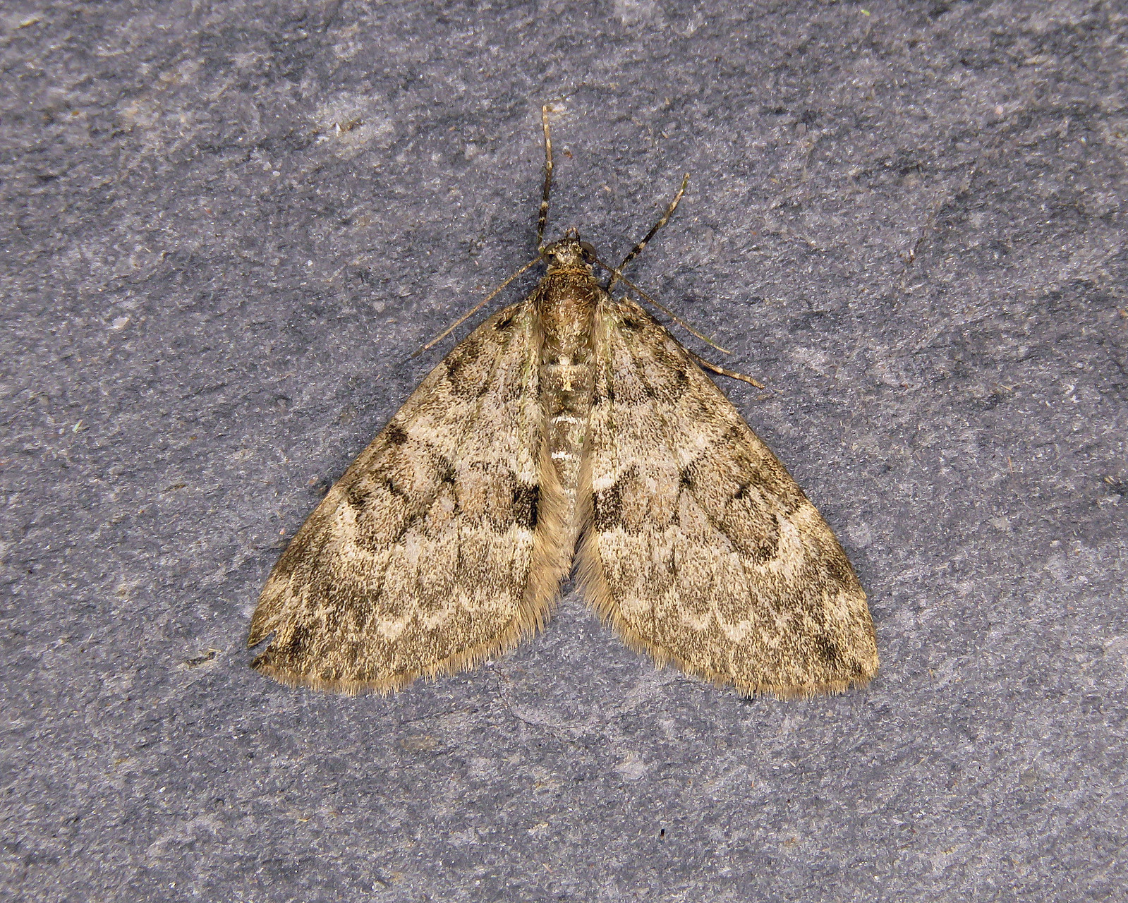 70.079 Spruce Carpet - Thera britannica