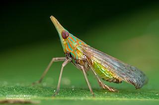 False lanternfly (Dictyopharidae) - DSC_0813