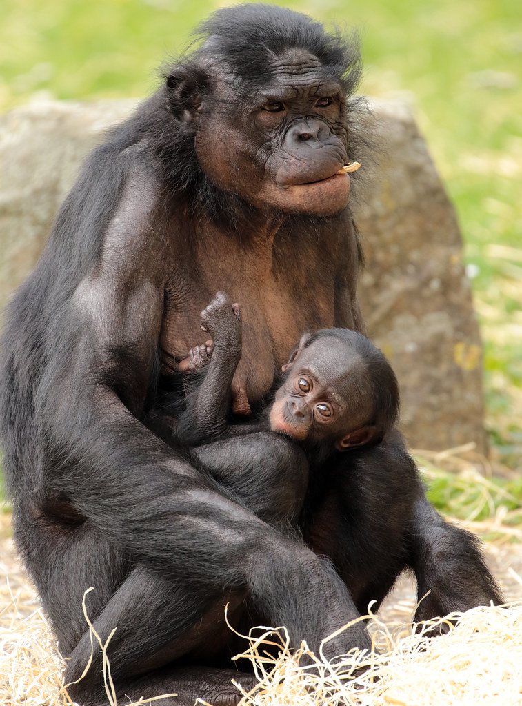 bonobo busira and sanza planckendael bb2a8647 | safi kok | flickr