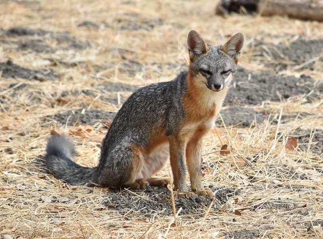 Skinny Gray Fox at Ardenwood Historic Farm  (Explored)