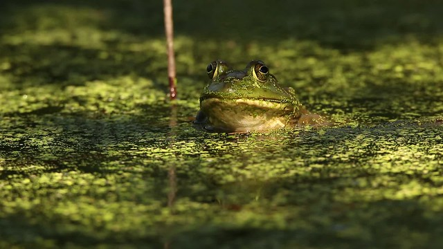 bullfrog breathing exercise