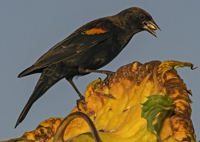 A Male Red-wing Blackbird