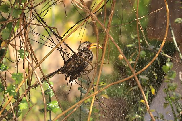Yellow Horn Bill Sprinkler Showering in the Undergrowth The Hide Hwange National Park Zimbabwe Africa