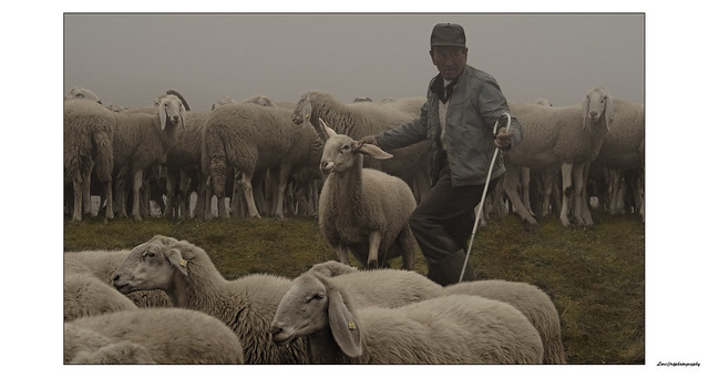 shepherds, in a fog day on high mountain, work for the selection of sheep