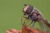 Mosca de las Flores - Flower fly (Sphaerophoria scripta)