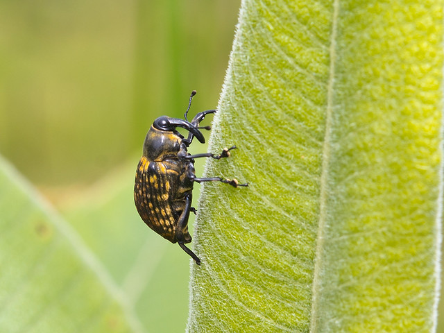 Rüsselkäfer, Cratosomus sp.
