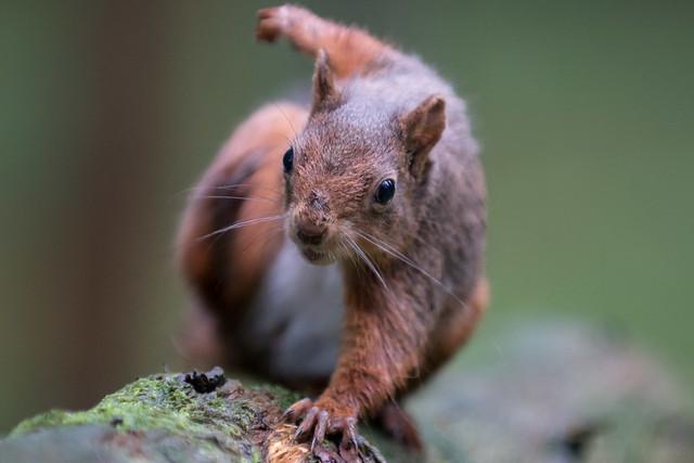 Red Squirrel (Explored)